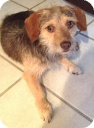 Terrier (Unknown Type, Small)/Dachshund Mix Dog for adoption in Encino, California - Benji