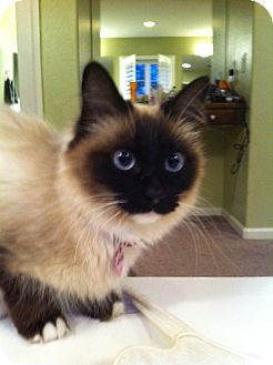 Siamese Cat for adoption in Irvine, California - CHLOE is a real beauty!