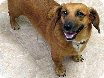 Dachshund Dog for adoption in Republic, Washington - Schnitzel