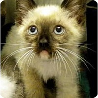 Adopt A Pet :: Scamp - Encinitas, CA