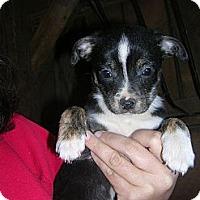 Adopt A Pet :: Mini Pearl - Glastonbury, CT