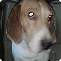 Adopt A Pet :: Courtesy Listing - Constantine - Oakley, CA