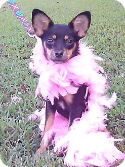Chihuahua Mix Dog for adoption in Hollis, Maine - Montana