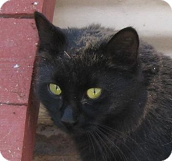 Domestic Longhair Cat for adoption in Las Cruces, New Mexico - Blackie