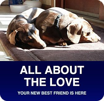 Dachshund Dog for adoption in Morrisville, Pennsylvania - Chloe & Lucy