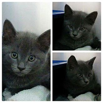 Domestic Shorthair Kitten for adoption in THORNHILL, Ontario - Jessie