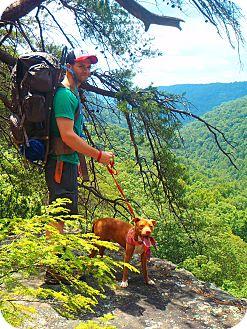 Vizsla/Boxer Mix Dog for adoption in Memphis, Tennessee - SADIE