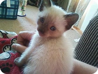 Himalayan Cat for adoption in Detroit Lakes, Minnesota - Meadow
