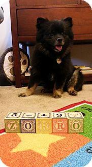 Pomeranian Dog for adoption in Edmond, Oklahoma - Zorro