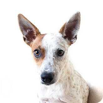 Australian Cattle Dog Mix Dog for adoption in Wilmington, Delaware - Freckles