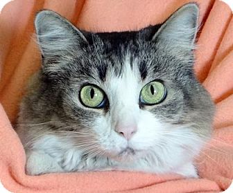 Domestic Mediumhair Cat for adoption in Renfrew, Pennsylvania - Buttons