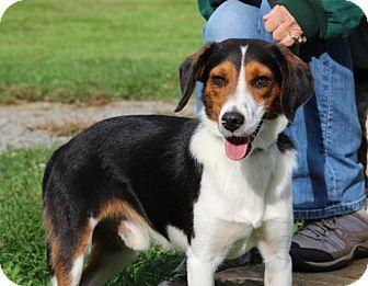 Beagle/Collie Mix Dog for adoption in Elyria, Ohio - Roy