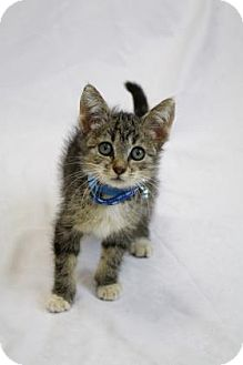 Domestic Mediumhair Kitten for adoption in Bradenton, Florida - Fluff