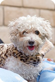Poodle (Miniature) Mix Dog for adoption in Coronado, California - Joy
