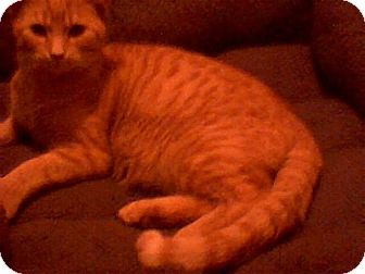 Domestic Shorthair Cat for adoption in Middletown, Ohio - Garfield