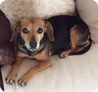 Beagle Dog for adoption in Palm Bay, Florida - Annie