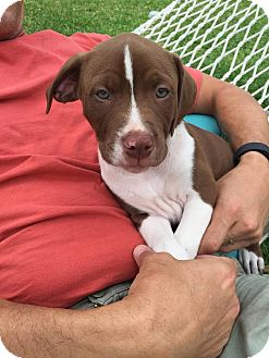 Hound (Unknown Type)/Boxer Mix Puppy for adoption in Jacksonville, Florida - Niko