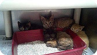Domestic Mediumhair Kitten for adoption in Sandersville, Georgia - 146213 A,B,C,D