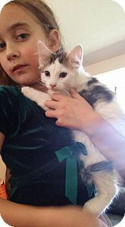 Domestic Mediumhair Kitten for adoption in Levelland, Texas - Olaf
