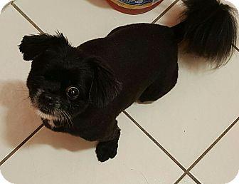 Shih Tzu/Cavalier King Charles Spaniel Mix Dog for adoption in Mary Esther, Florida - Ranger