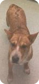 Australian Cattle Dog Mix Dog for adoption in Columbus, Georgia - Harmony 9005