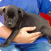 Adopt A Pet :: Kona - Joplin, MO