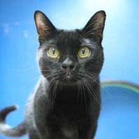 Domestic Shorthair/Domestic Shorthair Mix Cat for adoption in St. Petersburg, Florida - Skippy