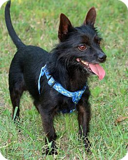 Australian Terrier/Yorkie, Yorkshire Terrier Mix Dog for adoption in Towson, Maryland - Davy