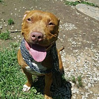 Labrador Retriever Dog for adoption in Crossville, Tennessee - Stella