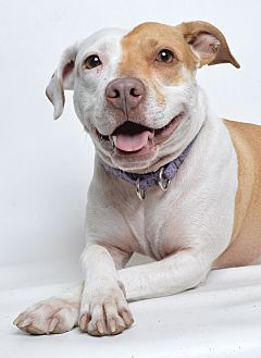 American Pit Bull Terrier Mix Dog for adoption in Jefferson City, Missouri - Lizzie