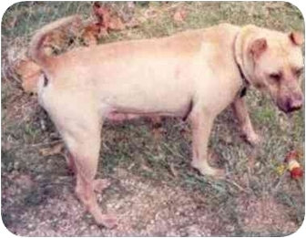 Shar Pei Dog for adoption in Houston, Texas - Marlie