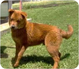 Chow Chow Mix Dog for adoption in Stockton, Missouri - Bean
