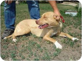 American Staffordshire Terrier/Pointer Mix Dog for adoption in Leoti, Kansas - Ellie