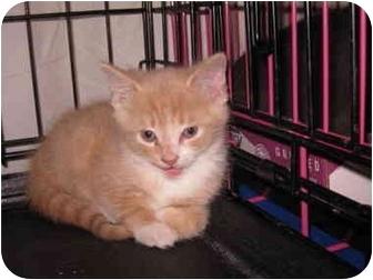 Domestic Shorthair Kitten for adoption in Randolph, New Jersey - Deb's foster kittens