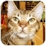 Photo 1 - Bengal Cat for adoption in Dallas, Texas - Bennie