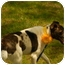 Photo 4 - English Springer Spaniel Mix Dog for adoption in Bedminster, New Jersey - Dottie