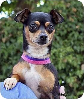 Chihuahua Mix Dog for adoption in Santa Barbara, California - Posie
