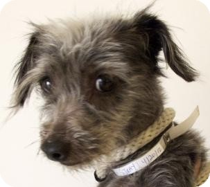 Silky Terrier Mix Dog for adoption in Brooklyn, New York - Amy