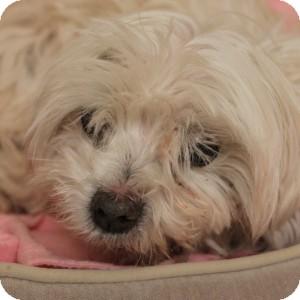 Maltese Mix Dog for adoption in Naperville, Illinois - Ernie