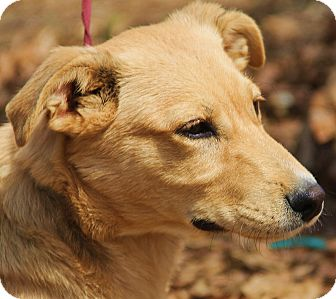 Golden Retriever/German Shepherd Dog Mix Puppy for adoption in Pewaukee, Wisconsin - Charlie