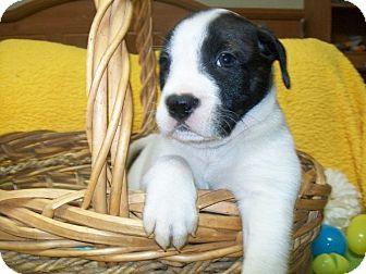 Border Collie/Beagle Mix Puppy for adoption in Paris, Illinois - Sheldon
