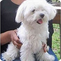 Adopt A Pet :: Harley - Toronto/Etobicoke/GTA, ON