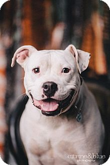 American Bulldog/Pit Bull Terrier Mix Dog for adoption in Portland, Oregon - Lulu