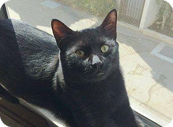 Domestic Shorthair Cat for adoption in Los Angeles, California - Jim