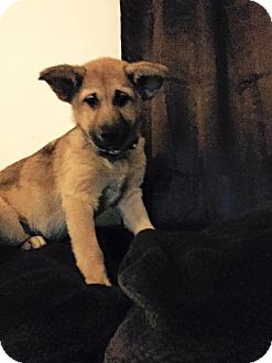 Shepherd (Unknown Type) Mix Puppy for adoption in Berea, Ohio - puppies arriving 1/17 at 1pm