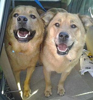 Golden Retriever/Labrador Retriever Mix Dog for adoption in Los Angeles, California - Candy and Teddy