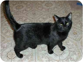 Domestic Shorthair Cat for adoption in Toronto, Ontario - Rocky