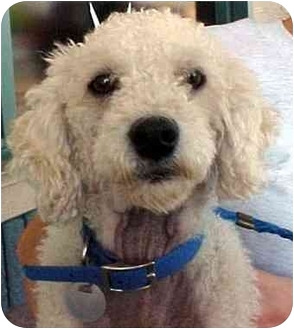 Poodle (Miniature) Dog for adoption in Spring Valley, California - MARTHA