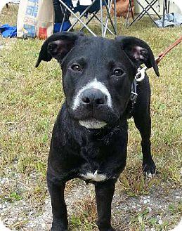 Labrador Retriever Mix Puppy for adoption in Pompton Lakes, New Jersey - Stache