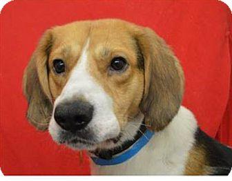 Hound (Unknown Type)/Harrier Mix Dog for adoption in Farmington, Minnesota - Bert